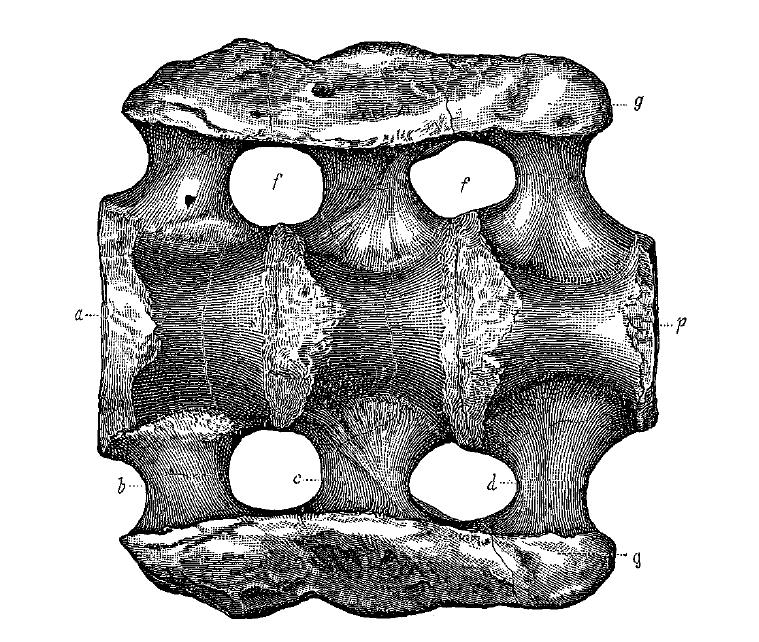 1879年绘制的埃阿斯迷惑龙骨骼化石图