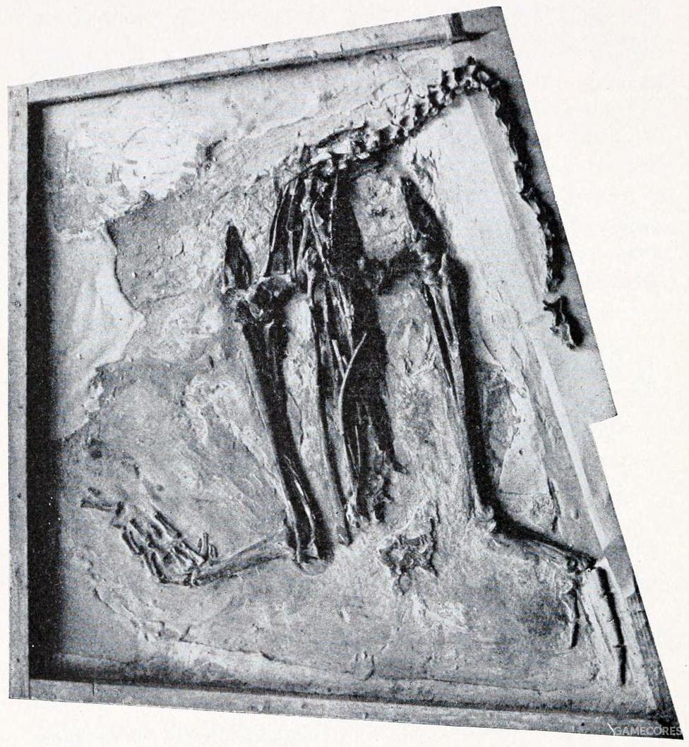 """最早的黄昏鸟化石在1871年由马什与十位学生于堪萨斯州发现。当时发现到的化石可以明显看出为一种巨型鸟类,翅膀退化但具有强壮的后脚,却缺乏头颅,马什推断黄昏鸟为一种擅于潜水的鸟,并命名为""""Hesperornis regalis"""",意思为""""帝王西方鸟""""。图为保存在美国自然史博物馆的该生物化石。"""