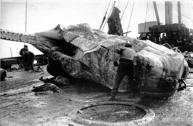 """1957年,""""阿留申""""号的船员正在处理一头抹香鲸"""
