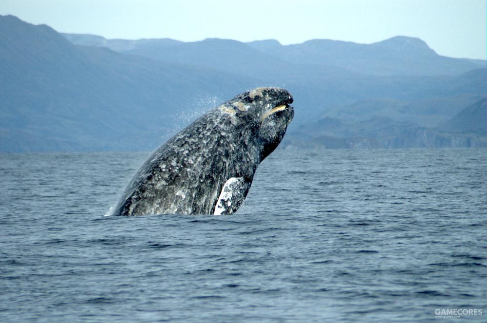 加利福尼亚海域,跳出水面的灰鲸