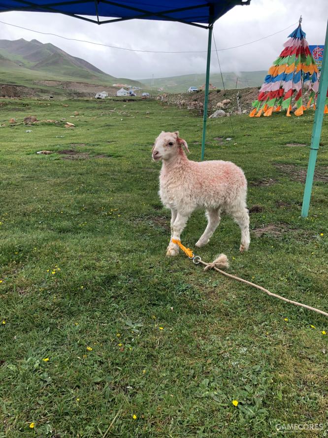 小羊撸起来手感特像泰迪