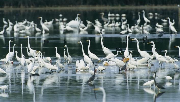 厦门核聚变门票上的白鹭,究竟是哪种白鹭?