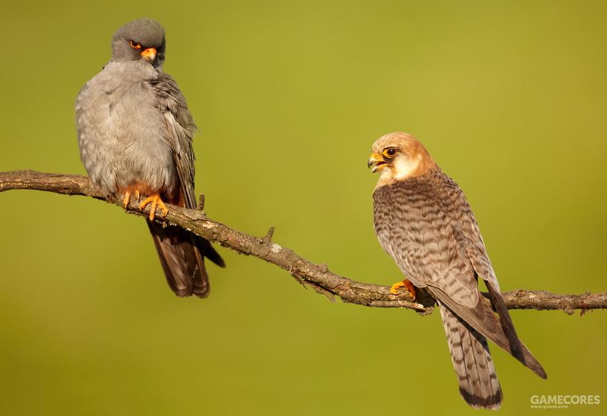 1879年,马什曾经的助手,古生物学家威利斯顿提出了地栖起源说。他认鸟类的祖先在三叠世时可能具有加长的外趾骨来增强奔跑能力,并逐渐伴随鳞片的伸长、扩大乃至羽毛的产生。1907年,匈牙利古生物学家诺普乔补充了这一学说。