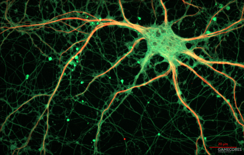 海马体内部的神经元,是动物产生长时间记忆的关键