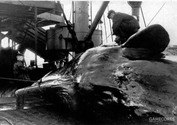 在加工抹香鲸前,工人正在测量鲸鱼的长度