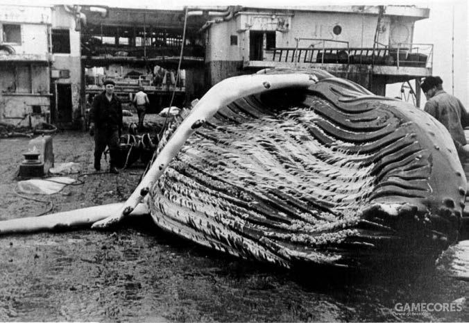 """""""海参崴""""号上待处理的座头鲸"""