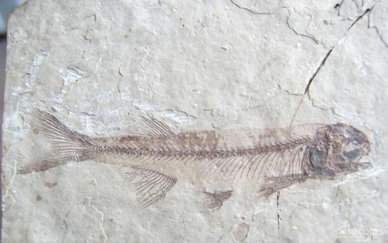 朝阳鱼化石