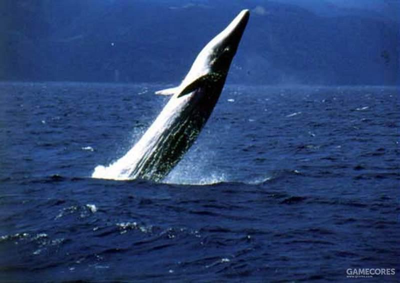 布氏鲸壮观的跃身击浪