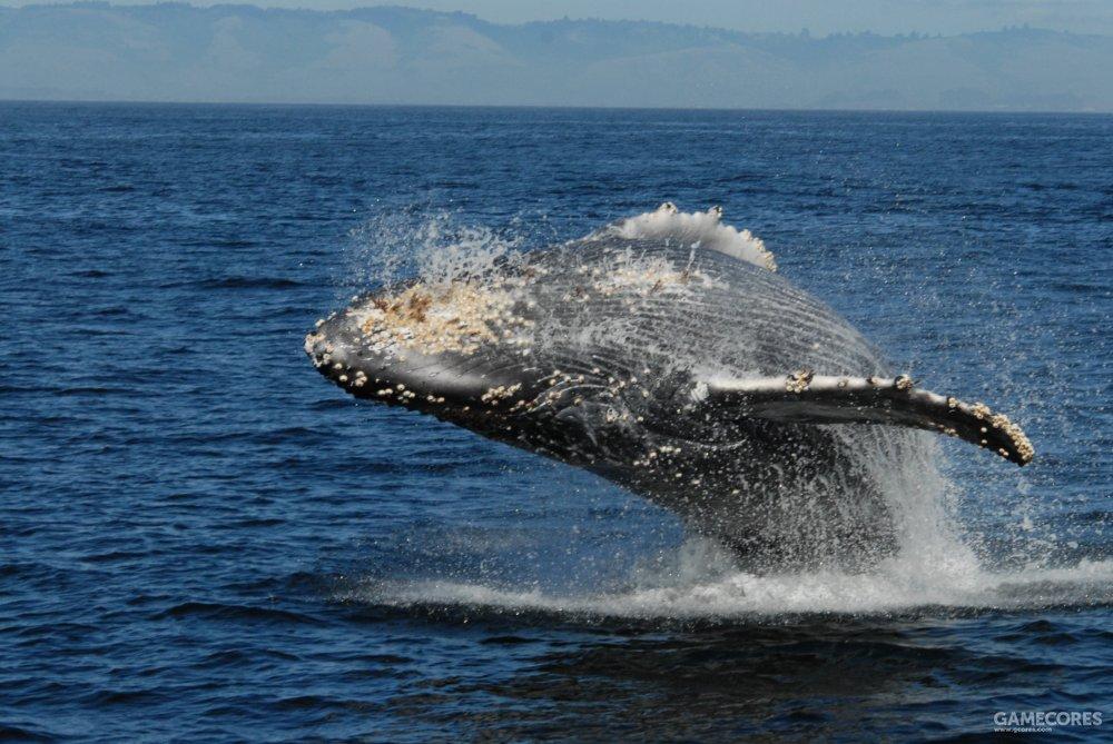 以标志性的跳跃闻名的座头鲸