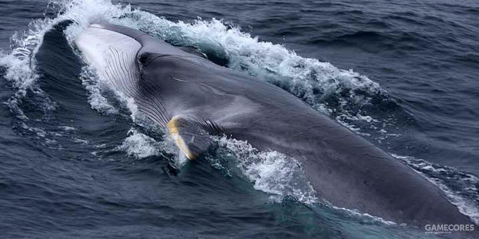 在19世纪受到捕鲸威胁不多,如今也数量少见的长须鲸