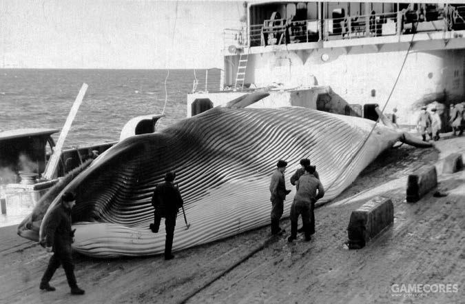 """""""苏维埃俄国""""号的船员正在处理一头长须鲸"""