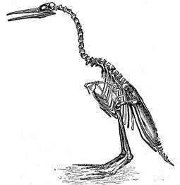 """在1873年,马什表示这些化石的发现,模糊了分隔鸟类与爬虫类的界线。然而之后不久,部分挖掘到的化石样本却流到了爱德华·德林克·科普手上,成为引发""""化石战争""""的导火线。图为马什于1880年所复原的H. regalis骨架,不过实际上黄昏鸟并无法如此直立。"""
